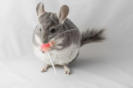 picture of lolli  - violet chinchilla standing and eating a fruit lolly pop - JPG