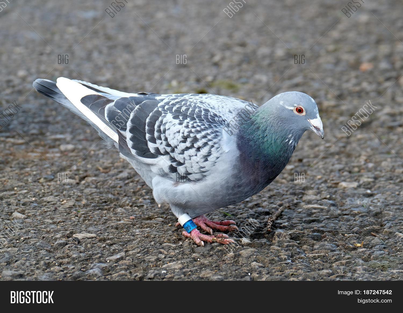 how to make pigeon leg ring