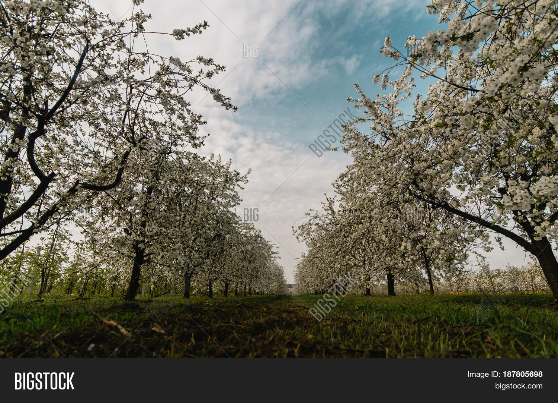Cherry trees blooming season image photo bigstock - Romanian cherry tree varieties ...