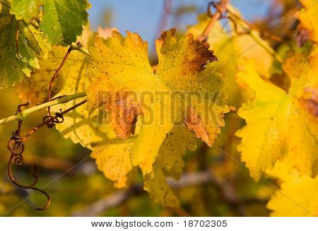 Close-up of Vineyard in Napa Valley in Autumn