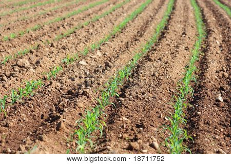 Soil Field With Corn Germ