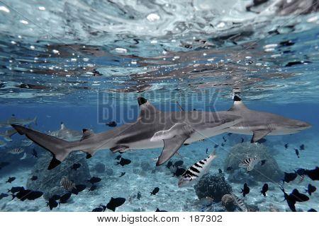 Shark Reflections