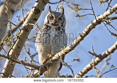 Great Horned Owl Saskatchewan