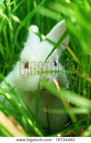 white rabbit hides