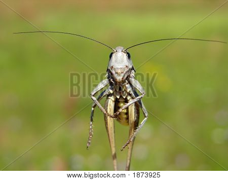 Walking Grasshopper
