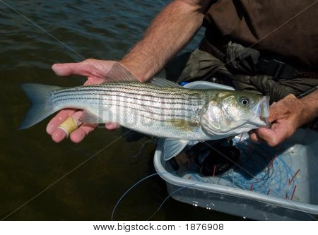 Striped Bass, Striper, Close-Up