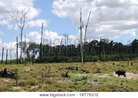Deforestation in Brazil, cattle grazing at a ranch where burned trees and the edge of the rainforest are still visible