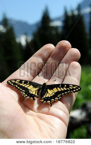 Swallowtail butterfly resting on hand in Glacier National Park in Montana. The Old World Swallowtail (Papilio machaon) is a butterfly of the family Papilionidae. Narrow DOF.