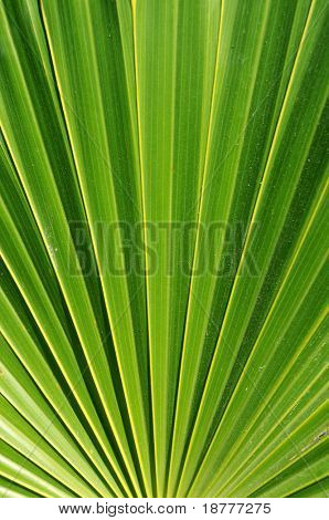 Closeup of palm leaf, with visual illusion of narrowing towards the top