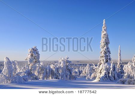 Arctic forest in winter