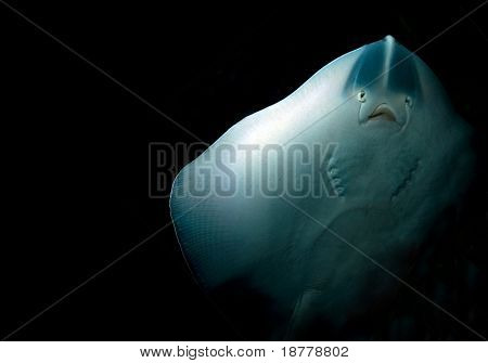 The ghostly underside of a stingray in deep dark water. With copy space.