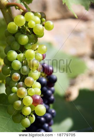 Grüne und schwarze Trauben an einer Rebe im Sonnenlicht. Platz für text