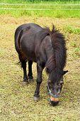 stock photo of feedlot  - old pony feeding on a meadow on a farm - JPG