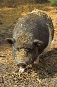picture of pot bellied pig  - head with body of a pot - JPG