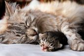 stock photo of compassion  - Cat and kitten hug and sleep in compassion - JPG