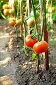 picture of tomato plant  - Organic tomatoes on branch - JPG