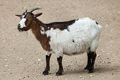Domestic goat (Capra aegagrus hircus). Farm animal.  poster