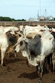 stock photo of zebu  - Zebu cattle at a huge ranch in Brazil - JPG
