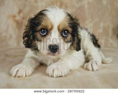 Cachorro Cavachon