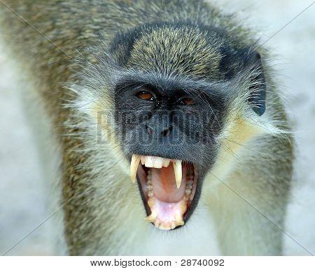 A Black Faced Vervet Monkey Baring Its Teeth