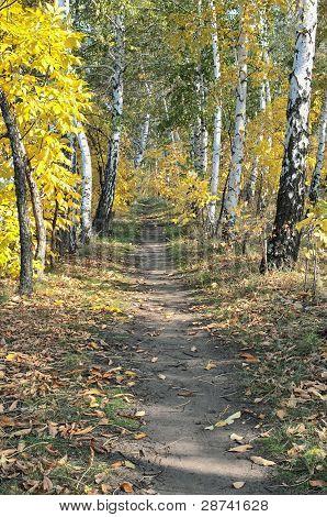Trail In Autumn Birch Forest