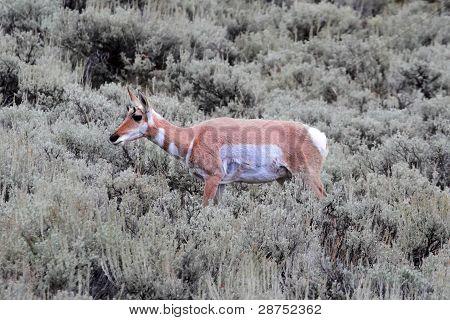 Pronghorn Antelope (antilocapra Americana)