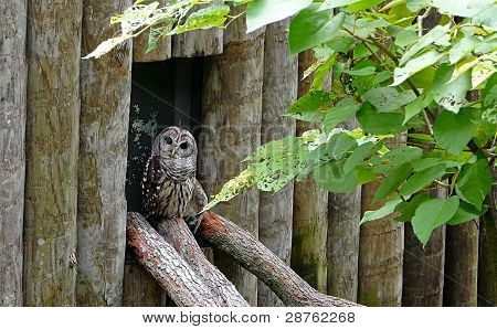 Injured Barred Owl
