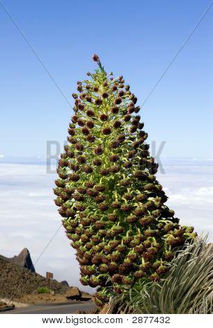 Haleakala Silversword