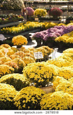 Fall Flowers.
