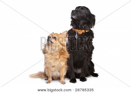 Chihuahua And A Black Mixed Breed Dog