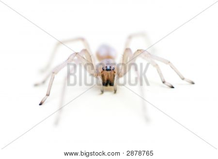 Translucent Long Legged Sac Spider Headshot