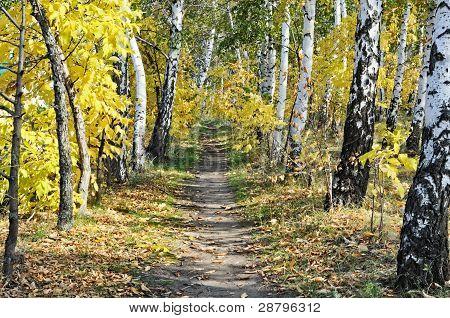 Birchwood Path Autumn
