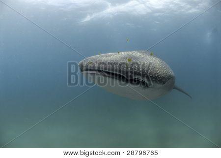 Smiling Whaleshark
