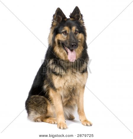 German Shepherd (3 Years)