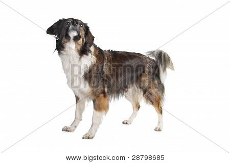 Mixed Breed Tri-colored Dog
