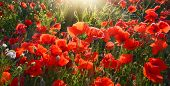 Morning View Of Red Poppies With Sunrays poster