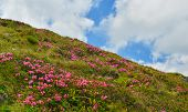 Rhododendron. Blossoming Pink Rhododendron In Summer Highland poster