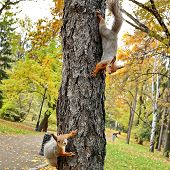 Two Young Squirrels Are Playing On A Tree In A City Park. Ordinary Squirrel (lat.sciurus Vulgaris) I poster