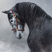 Close up portrait of dark gray Purebred Andalusian horse in halter in light smoke. poster