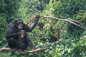 stock photo of chimp  - Pair of chimps high up in the trees - JPG