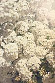 Small White Flowers On A Bush Branch. Spring Background.  Blooming Garden. A Branch Of A Bush With W poster
