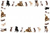 foto of sheltie  - Different breeds of dog like chihuahuas pugs and sheltie in the form of a frame or border on a white background - JPG