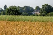 Country House Near Field Of Cereals Close To The River. Field With Cereal And House Between The Tree poster