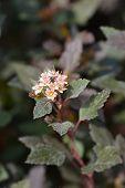 Little Joker Ninebark - Latin Name - Physocarpus Opulifolius Little Joker poster