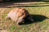 Giant Turtle Eating Grass In Zoological Park, Barcelona, Spain poster