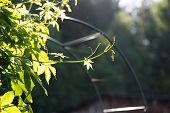 Climbing Plant On The Arch. Sunlight On The Leaves.sunlight Through Foliage poster