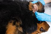 Vet Doctor Cleans Ears Wadded Sticks Sick Dog. Treatment Dogs Have The Vet. poster