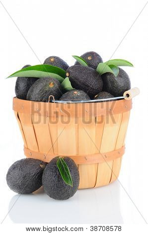 Fresh Picked Hass Avocados in a bushel basket on a white background with reflection.