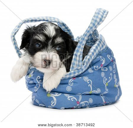 A Cute Awakening Havanese Puppy