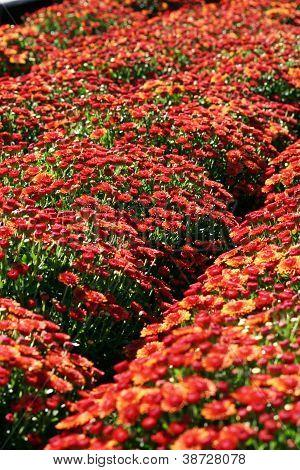 Red Mums